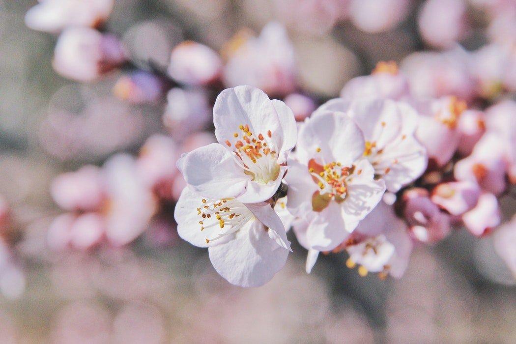 Almond Blossom - Mallorca